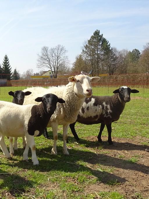 Tierärztin Dr. Hannemann Schafe und Ziegen